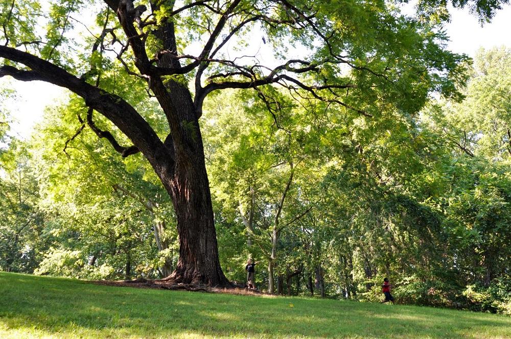 cây gỗ óc chó